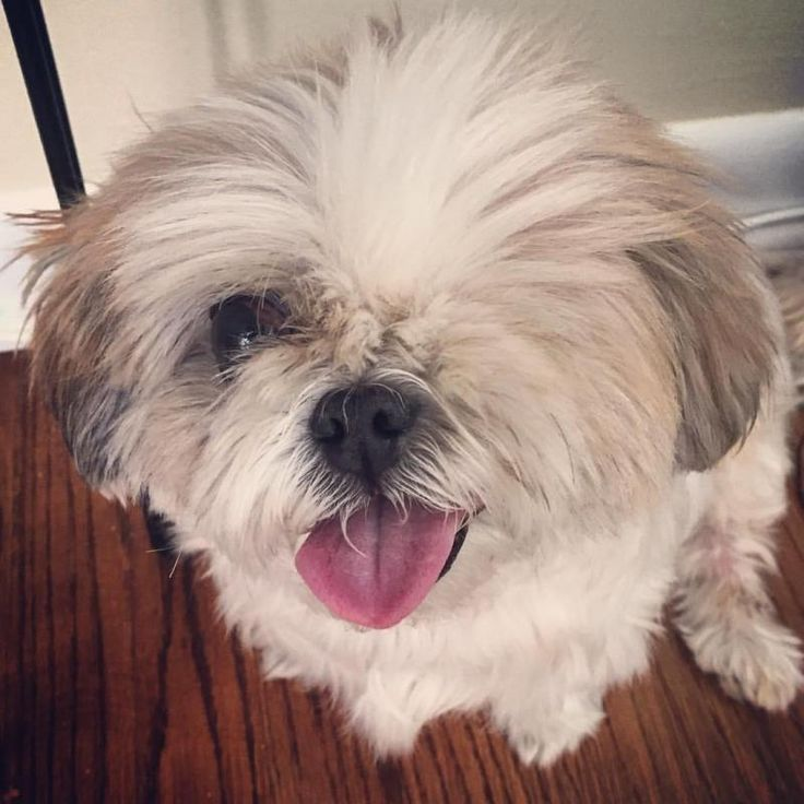 shih tzu puppies rescued 1000 images about help these dogs find a home on 4853