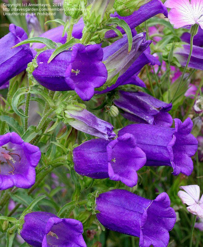 Plantfiles Pictures Campanula Canterbury Bells Deep Blue Campanula Medium By Anniesannuals Campanula Flowers Campanula Flowers