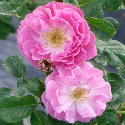 161 best roses modernes apr s 1920 images on pinterest flowers gardens and perfume. Black Bedroom Furniture Sets. Home Design Ideas
