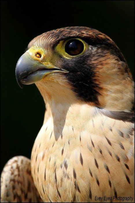 Peregrine Falcon, known as the fastest bird, attaining up to 200 mph in a stoop or dive.....
