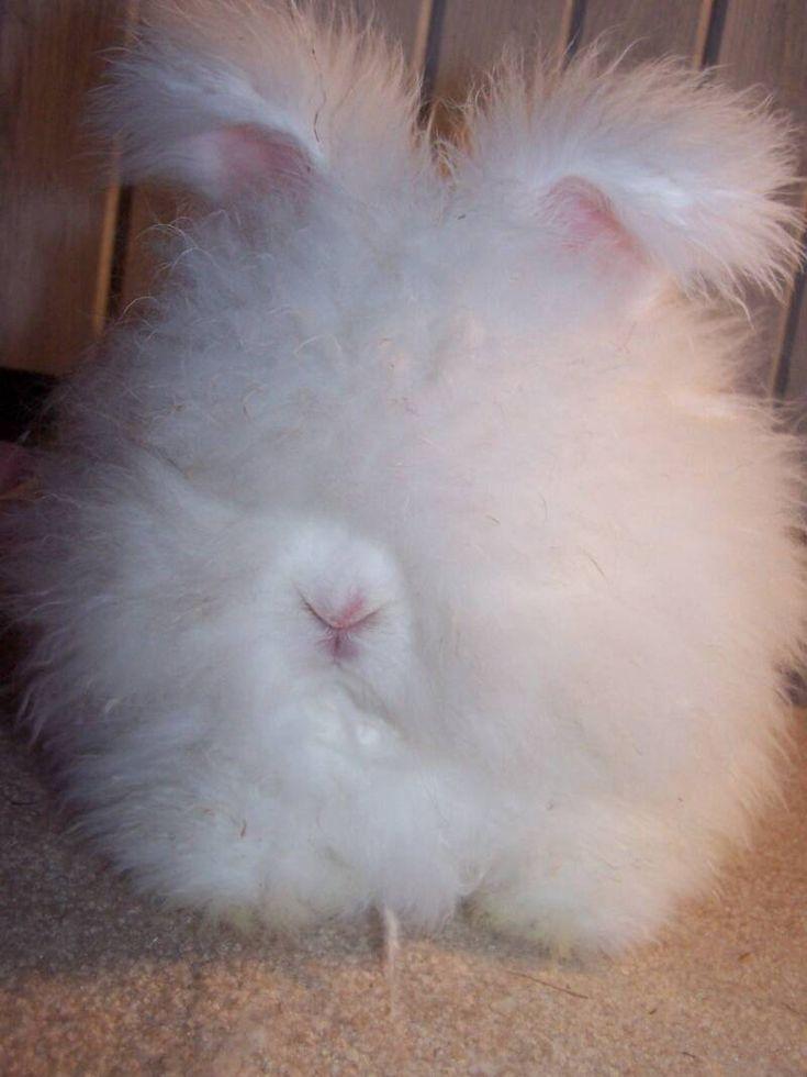 english angora rabbits - photo #8