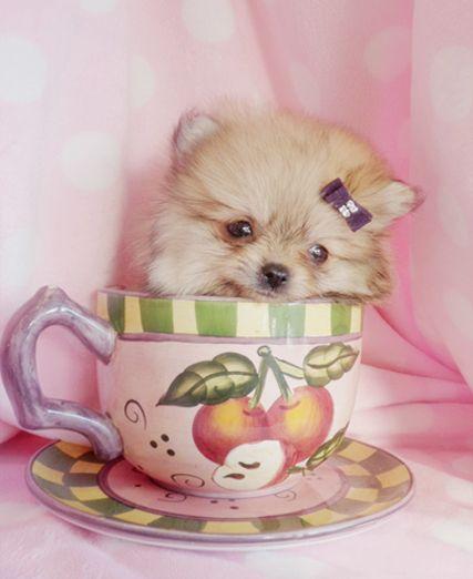 teacup pomeranians   Teacup Pomeranian Puppy and Pomeranian Puppies at TeaCups Puppies of ...