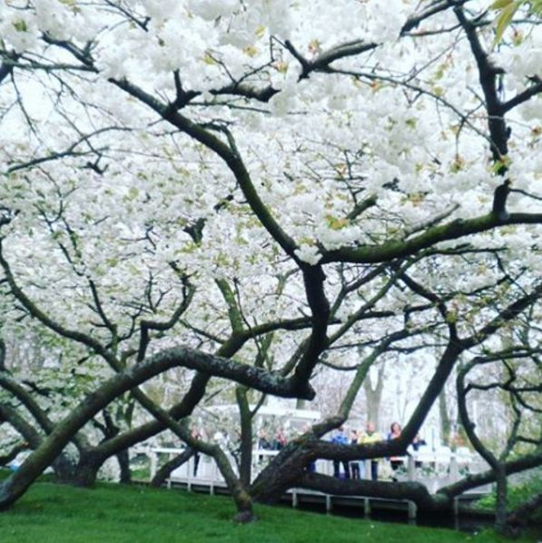 Hump day #inspiration 🙌 canopy of #cherryblossom at #keukenhof was a relief to see this after all the perfect #tulips #flowers #gardendesign #landscapedesign #melbourne #garden #gardenmaintenance
