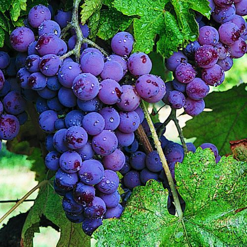 Grapes - Sunset