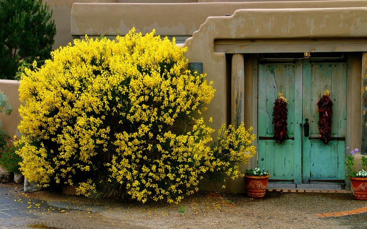 Want a Spanish Broom for the area next to the back gate! Beautiful and fragrant...