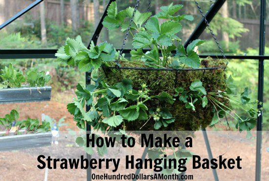 If you are short on space, growing strawberries in hanging baskets might be the way to go.  It is super simple, and can produce surprising yields. I whipped up a hanging strawberry basket this morning for the greenhouse and thought I'd show you how I did...