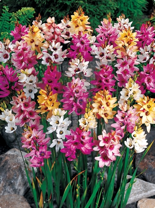 Ixia Plant Info Tips For Growing African Corn Lily