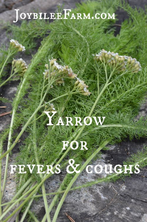 Yarrow for fevers and coughs -- Joybilee Farm: