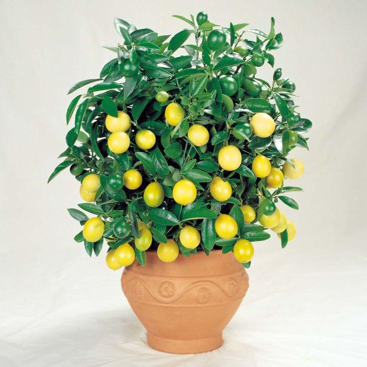 más de 25 ideas increíbles sobre bonsai limonero en pinterest