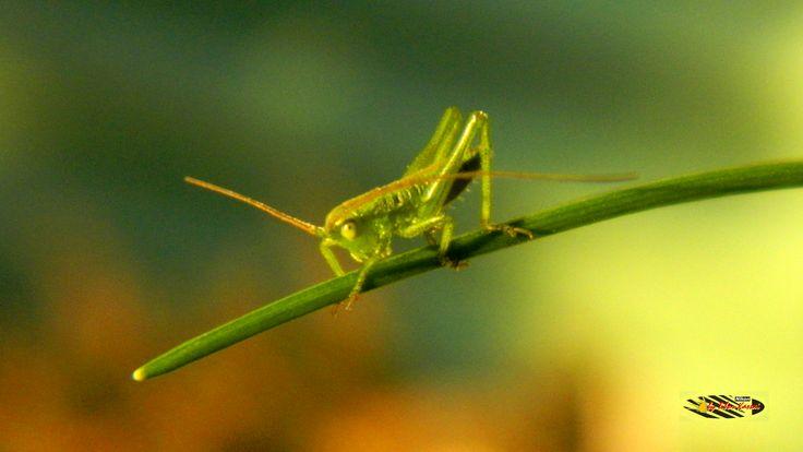 Baby grasshopper, Nikon Coolpix L310, macro