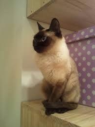 siamilainen kissa - Google-haku