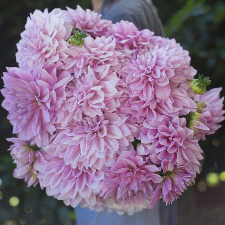 Dahlia Lavender Perfection by Floret Shop