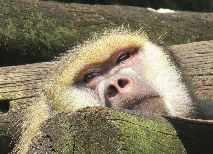 https://flic.kr/p/gHzka5   Macaco   Zoo de São Paulo