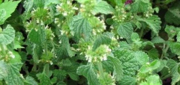 عشبة المريوت المواد الفعالة الفوائد الاستخدامات عشبة المريوت ت عرف هذه العشبة بأسماء أخرى كالفراسيون الأبيض أو عشبة الكلاب أم ا السم العلمي لها Herbs
