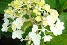 Phantom #Hydrangea. Don't forget to prune off its finished flowers in November! Drought Tolerant Collection. For more details, visit us at: http://www.sheridannurseries.com/plant_product_view?SH0162