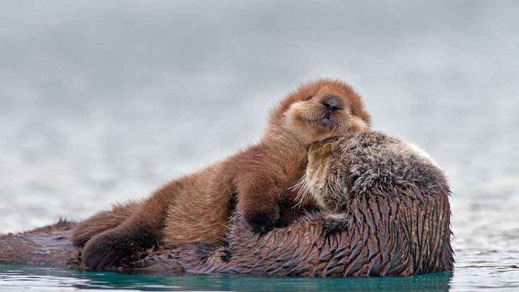 Bing Image Archive: Sea otter with pup, Prince William Sound, Alaska, USA (© AlaskaStock/Masterfile)(Bing Australia)