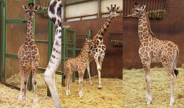 Un petit girafon femelle est né le 4 février dernier au sein du centre africain du Monde Sauvage d'Aywaille (B) Le parc nous annonce sa naissance ce vendredi. Il s'appelle Kumi, ce qui signifie énergétique en kiswahili.
