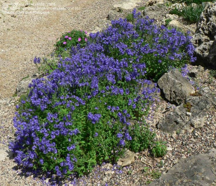 63 best Waterwise Groundcovers images on Pinterest | Blue flowers, Garden plants and Gardening