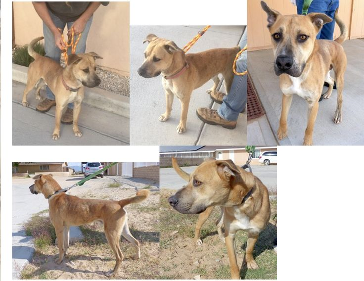 Viciously dumped by a crazy person or family....nearly died of dehydration. Rescued. Needs a permanent home. With real people.  From: Pat Bonham Sent: Monday, May 30, 2016 4:14 PMSubject: SWEET SHEPHERD FOR ADOPTION. NEW PHOTOS!! MEET RENO! 1-YEAR-OLD SWEET SHEP-BOXER MIX***** anyone looking for a gentle dog. He has been in boarding for 3 months now.  Please share for a home.   Pat Bonham Alpha Dog Pet Rescue and Founder of Desert Dog Project-Saving Street Dogs 760-265-9595