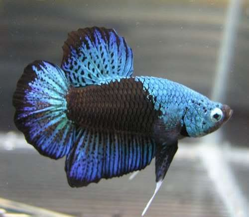 249 best images about beautious bettas on pinterest for Rare betta fish