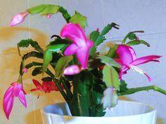 LA VENTANA DE JAVIRULI: PLANTAS DE INTERIOR (20): ESQUEJES DE SCHLUMBERGERA O CACTUS DE NAVIDAD