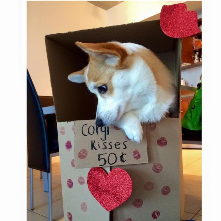 Corgi kisses booth for Valentine's Day!!! #corgipictures