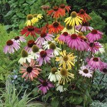 Röd solhatt 'Dreamcoat' Echinacea purpurea, Fjärilsväxter, fjärilsträdgård, butterfly garden plant
