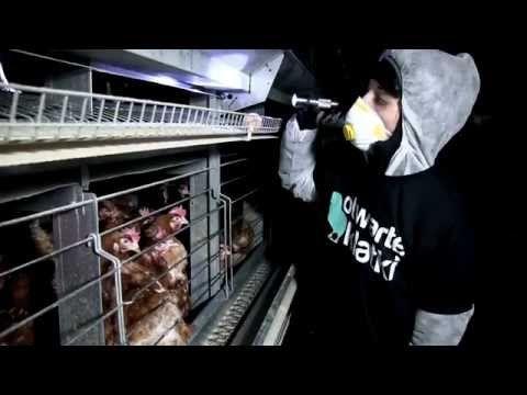 ▶ [ZOBACZ] Kury uratowane z piekła hodowli przemysłowej - YouTube