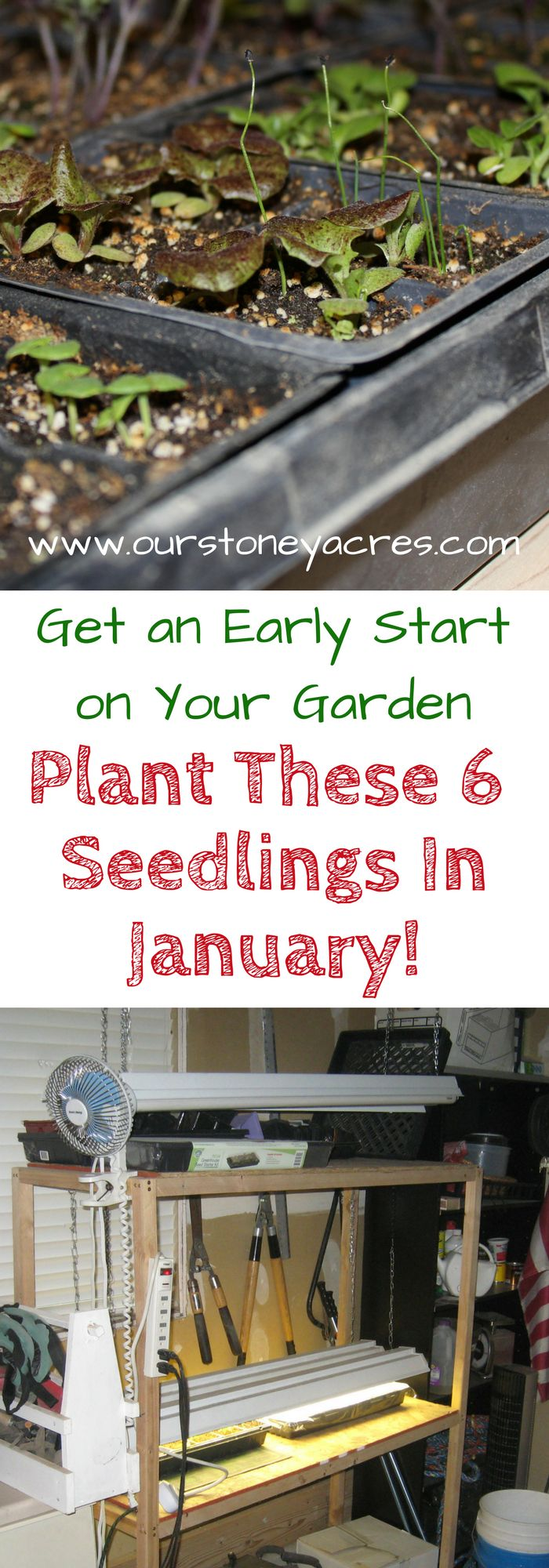 #2 What seedlings can you start in January.  Get an early start on your vegetable garden by planting these 6 crops as seedlings indoors.