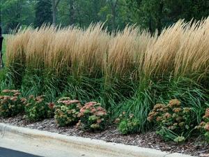 Karl foerster grass jardin pinterest for Fast growing decorative grass