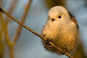 雪の妖精!可愛すぎる鳥「シマエナガ」 - NAVER まとめ