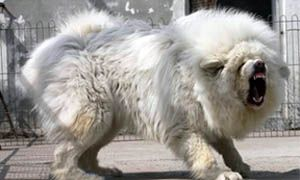 http://best5.it/post/mastino-tibetano-cane-record/