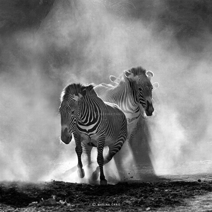 zebra ~ black n white ~ movement ~ running * photographer *  Marina Cano * Spanish * http://www.marinacano.com