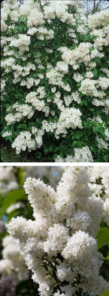 White lilac bushes - later bloomers
