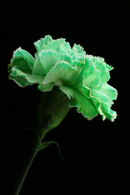 """""""Robertson was to buy a green carnation at Goodyear's in the Royal Arcade – 'They grow them there,' said Wilde – and to wear it at the performance. ... 'And what does it mean?' asked Robertson. Wilde replied, 'Nothing whatever, but that is just what nobody will guess.'"""" —from Oscar Wilde by Richard Ellman"""