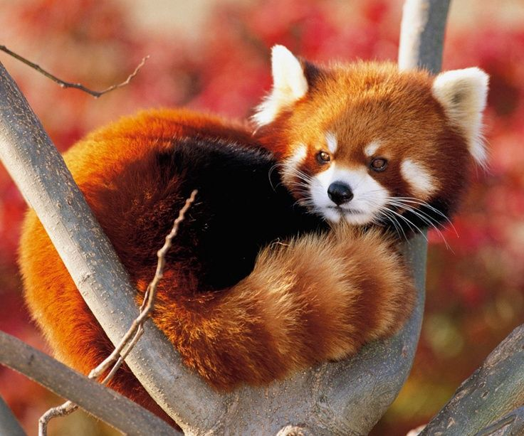 Red panda...looks more like an adorable   version of a raccoon than a bear!