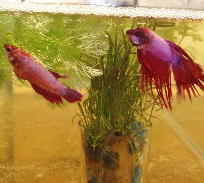 44 best betta fish behavior images on pinterest fish for How to care for a betta fish