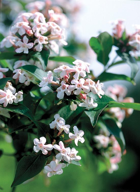 Fragrant Abelia Abelia Mosanensis Site Beside Pathways