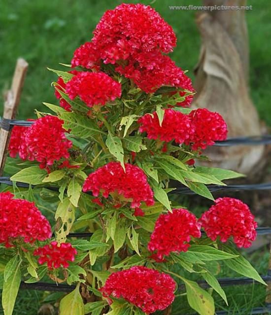 Common Garden Flowers 15 best cockscomb/celosia images on pinterest | flower gardening