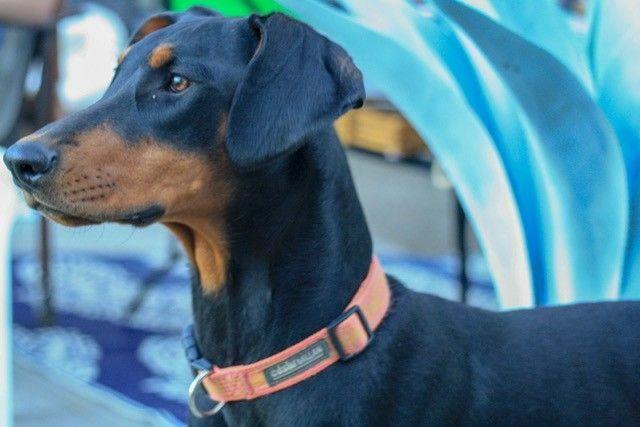 Discover The Loyal Doberman Pinscher Pups And Kids Dobermandogs