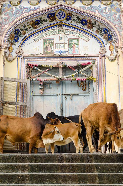Sacred cows on sacred steps