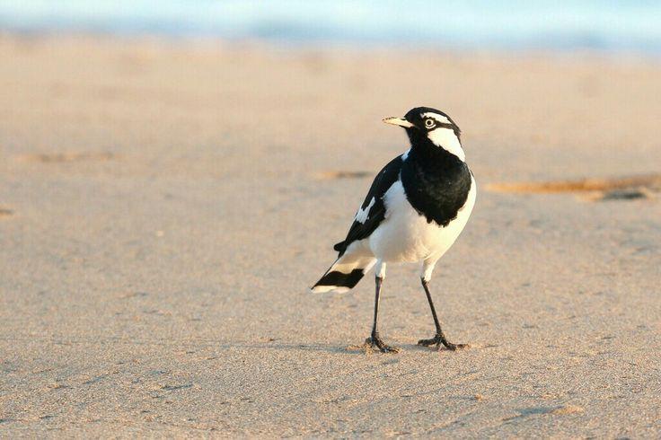 Magpie Lark on the beach at Hervey Bay, QLD.  Photo by Lee Mason.