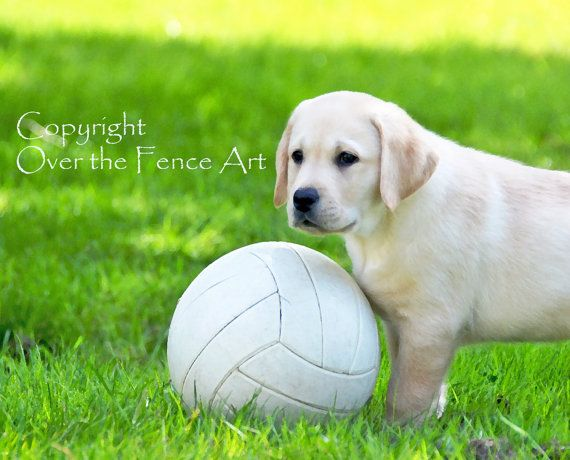 YELLOW LABRADOR Card  PUPPY Plays Soccer by overthefenceart