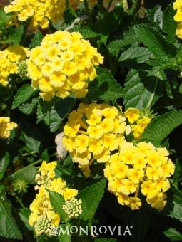 "Chapel Hill Yellow Lantana.  Perennial. 16"" high by 2-3' wide.  I've had mixed success with perennial lantana in the past.    Grew much taller than 16"", closer to 2-2.5'  Of the 10 I planted (2012), I lost 3 over the winter and 2 came back very stunted.  Replacing all 5 and trying again (2013)!"