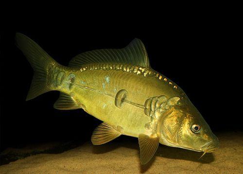 pesca de carpas en cordoba - Cyprinus carpio