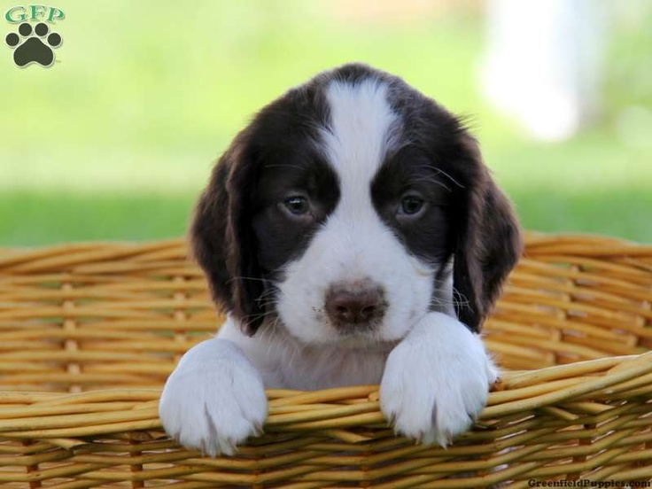 Sierra , English Springer Spaniel puppy for sale in Strasburg, Pa - Greenfield Puppies
