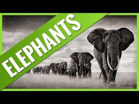 Interesting Facts About ELEPHANTS.. ► Please watch the video and let us know what you think :)