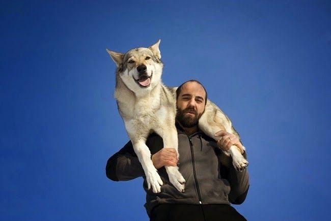 Psy rasy Wilczak Czechosłowacki