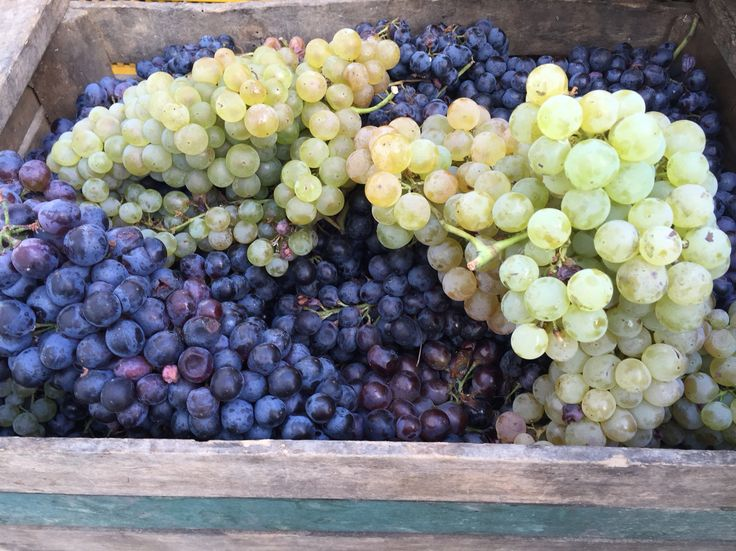 Trebbiano and Lambrusco Grapes