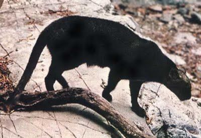 Carolyn M observes a 40 pound black cat at Mt. Morris Road and McKinley Rd, Flushing.